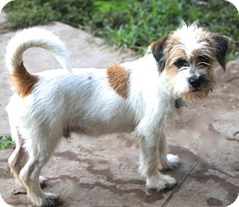 Jack Russell Terrier Mix Dog for adoption in Allentown, Pennsylvania - Skipper