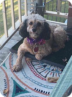 Havanese/Poodle (Miniature) Mix Dog for adoption in Mt Gretna, Pennsylvania - Maisey
