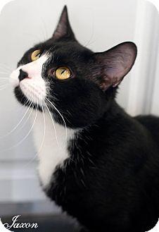 Domestic Shorthair Cat for adoption in Manahawkin, New Jersey - Jaxon