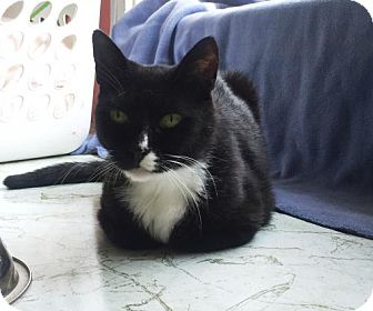 Domestic Shorthair Cat for adoption in Washington, Virginia - Tommy