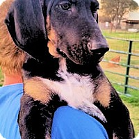 Adopt A Pet :: Valentine - Dallas, TX