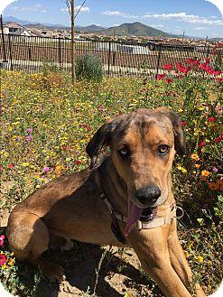 Catahoula Leopard Dog Mix Dog for adoption in Temecula, California - Moody- Mad Eye Moody