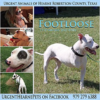 American Staffordshire Terrier Mix Dog for adoption in Hearne, Texas - Footloose
