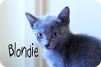 Domestic Shorthair Kitten for adoption in Wichita Falls, Texas - Blondie