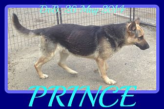 German Shepherd Dog Dog for adoption in Middletown, Connecticut - PRINCE