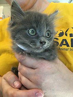 Domestic Shorthair Kitten for adoption in Hanna City, Illinois - Ashley