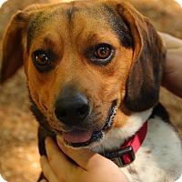 Beagle Dog for adoption in O Fallon, Illinois - Ruby