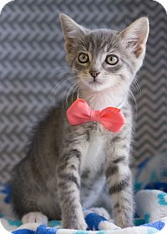 Domestic Shorthair Kitten for adoption in Montclair, California - Serena
