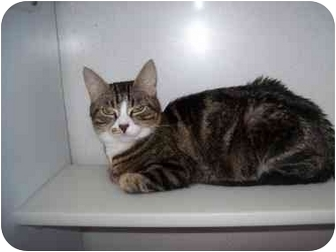 American Shorthair Cat for adoption in Spokane, Washington - Piper