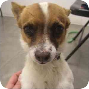 Chihuahua Mix Dog for adoption in Phoenix, Arizona - Seth