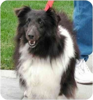 Sheltie, Shetland Sheepdog Dog for adoption in La Habra, California - Betty Boop