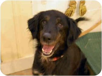 Labrador Retriever/Setter (Unknown Type) Mix Dog for adoption in Youngwood, Pennsylvania - Dakota