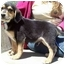 Photo 1 - Australian Shepherd/Beagle Mix Puppy for adoption in North Judson, Indiana - Huckleberry
