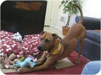 Rhodesian Ridgeback/Hound (Unknown Type) Mix Dog for adoption in Antioch, Illinois - Dylan