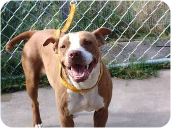 American Staffordshire Terrier/Pit Bull Terrier Mix Dog for adoption in Bellflower, California - Suki