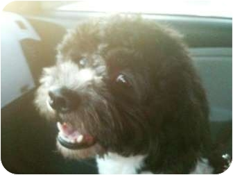 Poodle (Miniature)/Havanese Mix Dog for adoption in Rancho Mirage, California - Marley