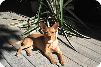 Chihuahua Dog for adoption in Bedford, Virginia - chi-chi