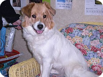 "Chow Chow/Collie Mix Dog for adoption in New Castle, Pennsylvania - "" Izzy """