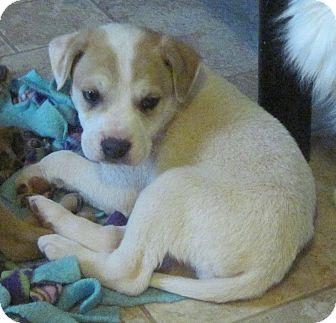 Anatolian Shepherd/Australian Cattle Dog Mix Puppy for adoption in Buford, Georgia - Toby