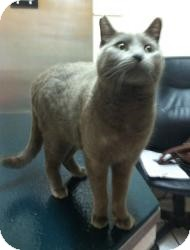 Russian Blue Cat for adoption in Mission Viejo, California - Big Blue