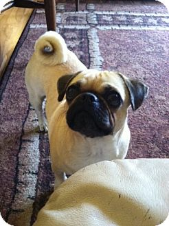 Pug Dog for adoption in Eagle, Idaho - Lily