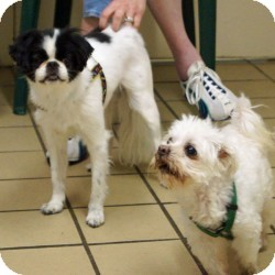Japanese Chin/Maltese Mix Dog for adoption in Eatontown, New Jersey - Oreo and Boomer