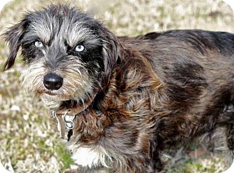 Cairn Terrier Mix Dog for adoption in Salem, New Hampshire - MOLLY