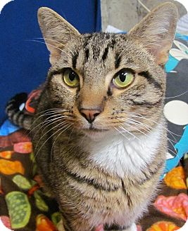 Domestic Shorthair Cat for adoption in Covington, Kentucky - Winter