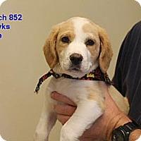 Adopt A Pet :: Butch ADOPTED - Burlington, VT