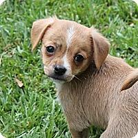 Adopt A Pet :: Romo - La Habra Heights, CA