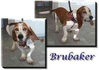 Basset Hound Dog for adoption in Marietta, Georgia - Brubaker