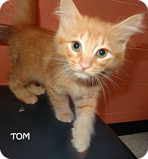 Domestic Mediumhair Kitten for adoption in Lapeer, Michigan - TOM---BROTHER TO JERRY!