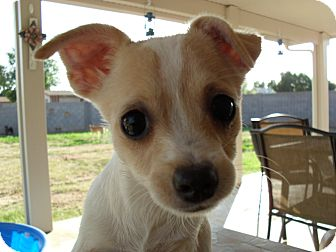 Jack Russell Terrier/Papillon Mix Puppy for adoption in Gilbert, Arizona - Koda