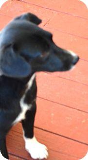 Border Collie Mix Dog for adoption in Overland Park, Kansas - shooter