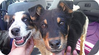 Cattle Dog/Doberman Pinscher Mix Dog for adoption in Arenas Valley, New Mexico - Biscuit