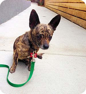 Chihuahua Mix Dog for adoption in Encino, California - Perry