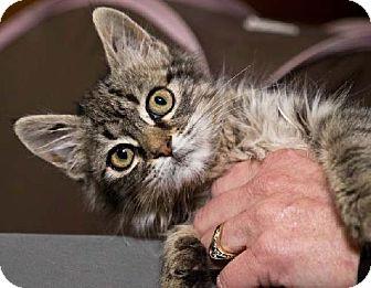 Maine Coon Kitten for adoption in Oakland, California - Hazel