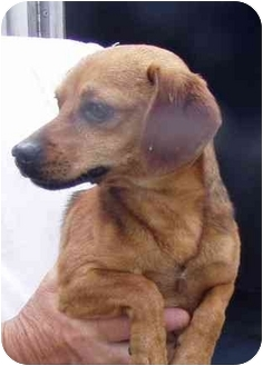 Dachshund Mix Dog for adoption in Tullahoma, Tennessee - Timmie