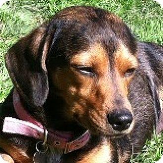 Dachshund/Boxer Mix Dog for adoption in Houston, Texas - Britney Brighton