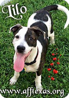 Australian Cattle Dog/Rhodesian Ridgeback Mix Puppy for adoption in Irving, Texas - Lilo