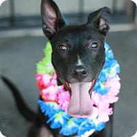 Adopt A Pet :: A.J. - Canoga Park, CA