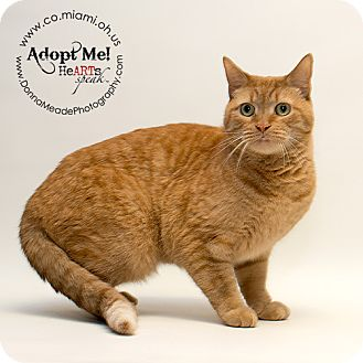 Domestic Shorthair Cat for adoption in Troy, Ohio - Darwin