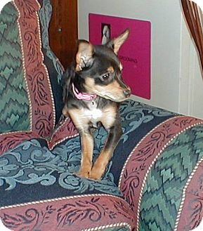 Chihuahua Puppy for adoption in Morgantown, WVa and Waynesboro,Pa, West Virginia - Lulu (ADOPTION PENDING)