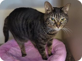 Domestic Shorthair Cat for adoption in Columbia, South Carolina - Annie