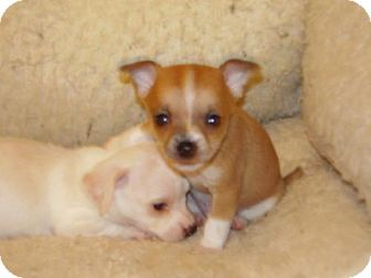 Chihuahua Mix Puppy for adoption in Tehachapi, California - Rucker