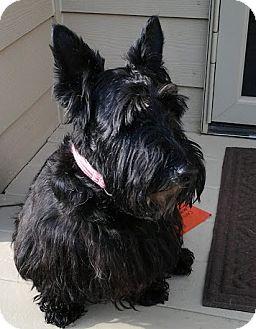 Scottie, Scottish Terrier Dog for adoption in Omaha, Nebraska - Lulu-Pending Adoption