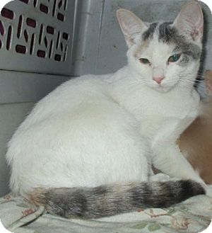 Domestic Shorthair Kitten for adoption in detroit, Michigan - SCOUT