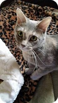 Domestic Shorthair Cat for adoption in Voorhees, New Jersey - Rose-foster care