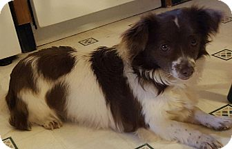 Cavalier King Charles Spaniel/Chihuahua Mix Dog for adoption in Hagerstown, Maryland - Mattie