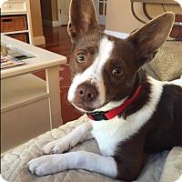 Adopt A Pet :: Joy - Barnegat, NJ